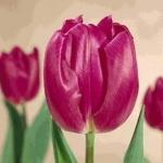 Тюльпаны Смайлинг Фейс