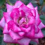 Розы Блю Бой