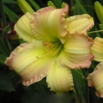 Daylily Big Smile