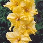 Гладиолусы Цветок Солнца