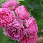 Розы Луиз Одиер