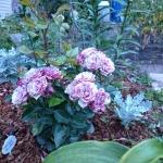 Розы Белле де Эспиноуз