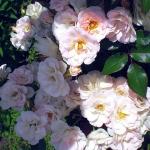 Розы Тутти Фрутти