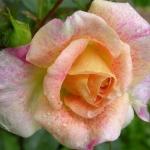 Розы Мишель Серраулт
