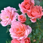 Розы Алибаба