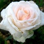 Розы Джулия Ренессанс