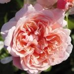 Les roses Rouz de Tolbiak