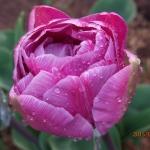Тюльпаны Блю Вау