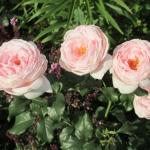 Розы Клейр Ренессанс