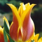 Тюльпаны Баллад Дрим