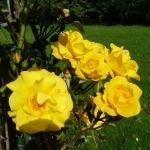 Розы Клаймбинг Голдмари