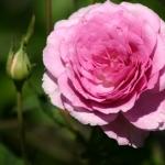 Розы Котиллион