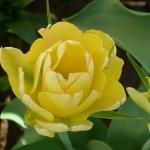 Тюльпаны Акебоно