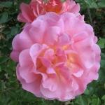 Розы Лилиан Остин