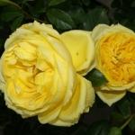 Розы Тулуз-Лотрек