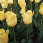 Тюльпаны Черида