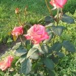 Розы Кандиа