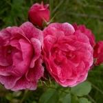Розы Морден Руби