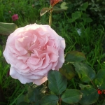 Розы Лорен Каброл