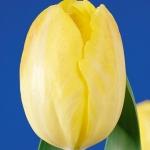 Тюльпаны Голден Либретто