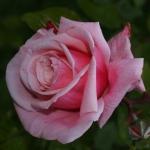Розы Блоссомтайм