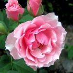 Розы Ла Роуз Бордо