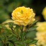 Розы Санстар
