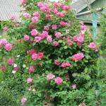 Розы Зефирин Дроухин