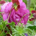Розы Пинк Ла Севиллана