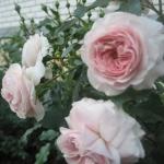 Розы Ларисса
