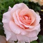Розы Ист Парк