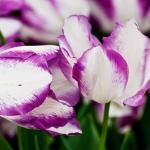 Тюльпаны Аффэйр