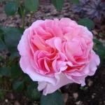 Розы Мирьям