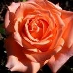 Розы Эльдорадо