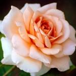 Розы Айриш Крим
