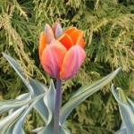 Тюльпаны Джоли Принцесс