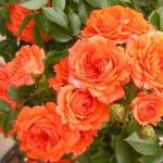 Розы Топ Маркс