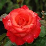 Розы Ред Голд