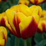 Тюльпаны Андре Ситроен