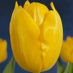 Тюльпаны Мадуродам