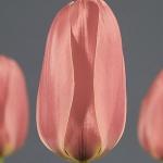 Тюльпаны Дианта