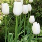 Тюльпаны Маурин