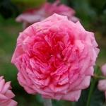 Розы Ла Роуз де Молинард