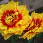 Тюльпаны Криспон Бьюти