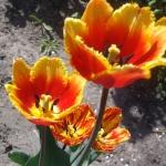 Тюльпаны Дэвенпорт