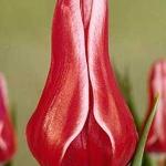 Тюльпаны Акита