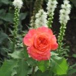 Розы Эмильен Жилло