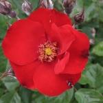 Розы Лампион