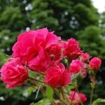 Розы Вегесакер Шарм