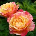 Розы Вариегата ди Барни